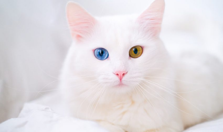 different color-eyed white Russian cat suitable for white kitten name