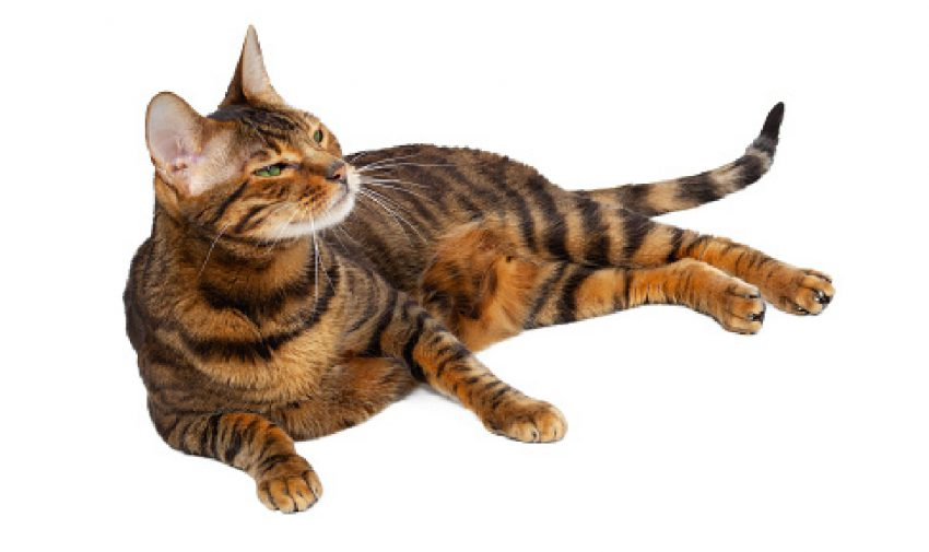 adult striped toyger cat