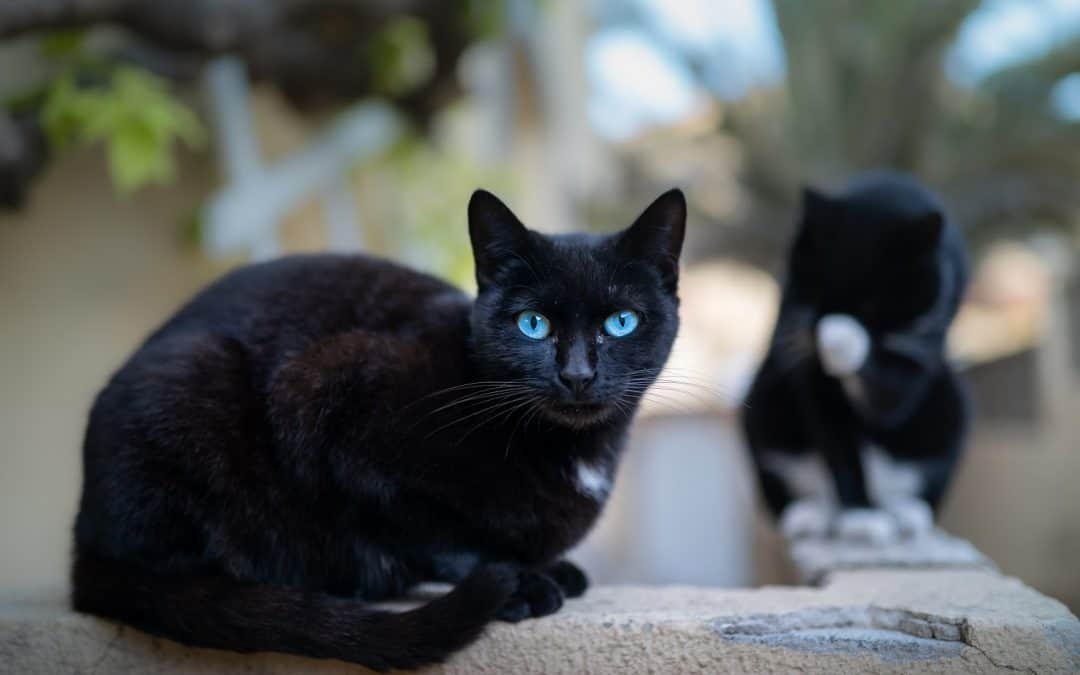 Black Cat Breeds With Blue Eyes: Do They Exist?