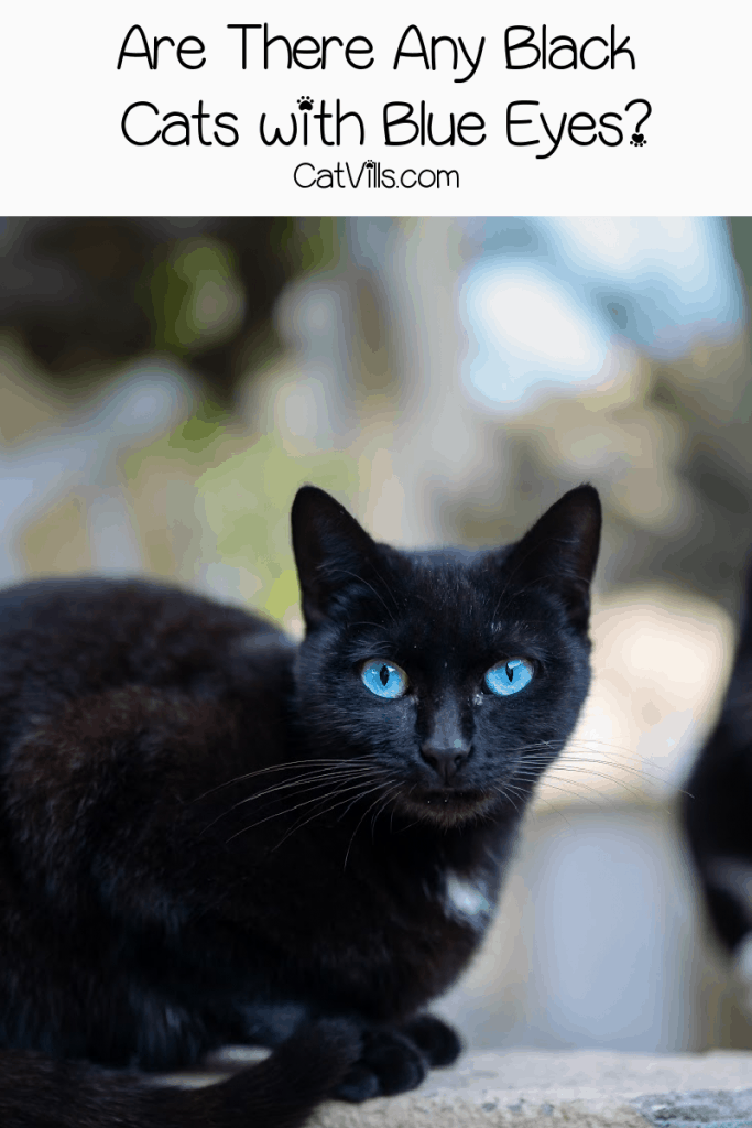 Are there any black cat breeds with blue eyes? Read on to find out the answer, plus check out other epic eye colors for ebony kitties.