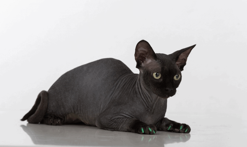 Sphynx eye colors can be yellow, green, red, or blue.