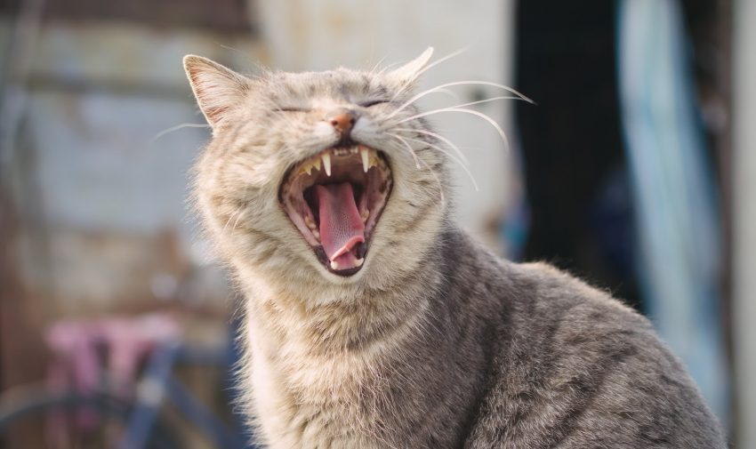 Looking for the best cat teeth cleaning wipes? Keep reading! We'll cover the top picks on the market + go over how to use them!