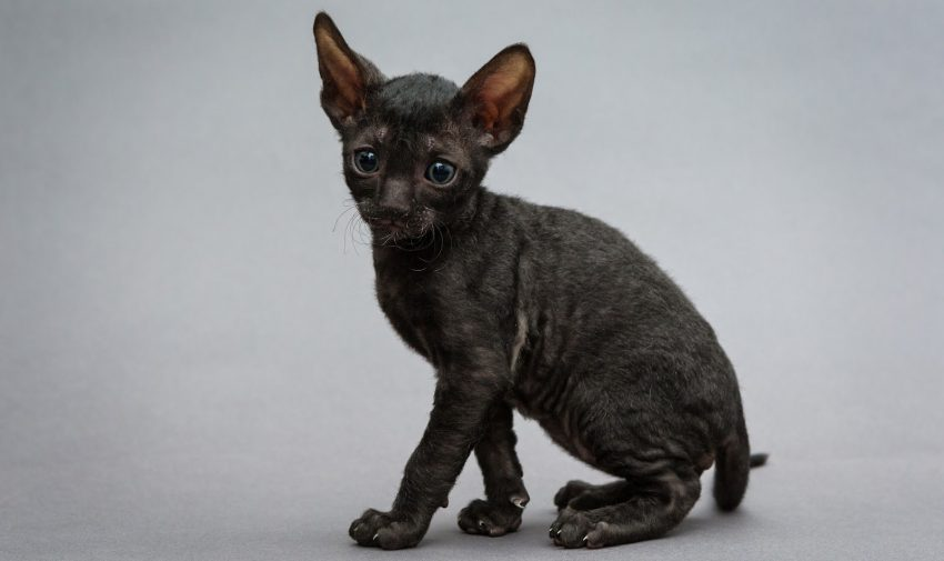 cornish rex black