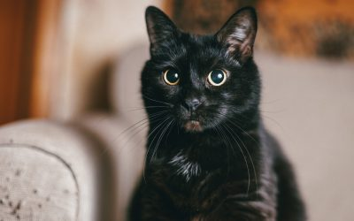 13 Gorgeous Black Cat Breeds You Can Adopt Today