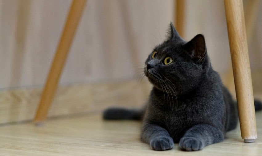 Fluffy black cat breeds- British Shorthair.