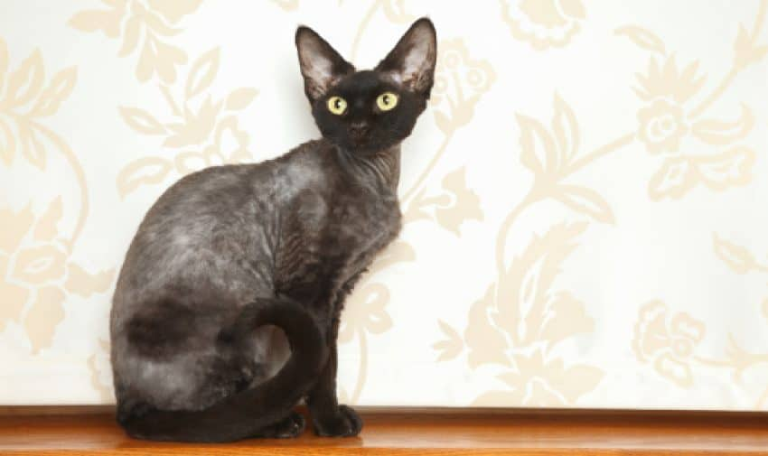Cat breed Devon-Rex