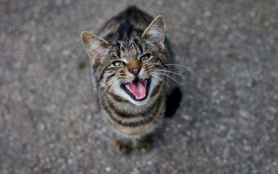 7 Tips and Tricks on How To Quiet a Talkative Cat