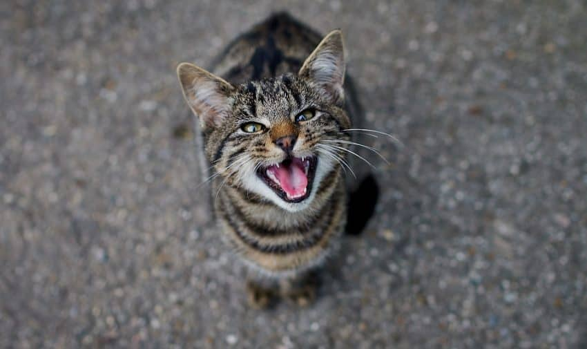 Are you wondering how to quiet your talkative cat because your kitty is driving you crazy with constant meowing? Check out these 7 superb tips!