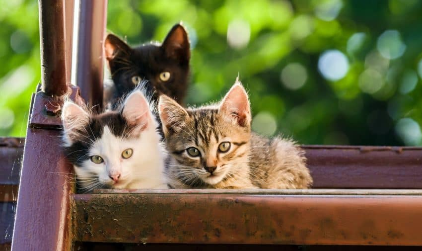 Thinking about getting a third cat? Check out our guide to everything you need to know before expanding your feline family!