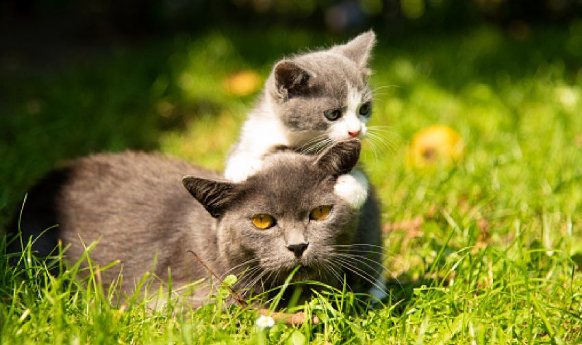 Need some tips on how to get outdoor cats to get along with kittens? Just keep reading for our top 5 strategies that we've used!