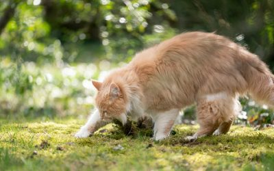 Why Do Cats Try to Bury Their Food? [Meaning Behind it]