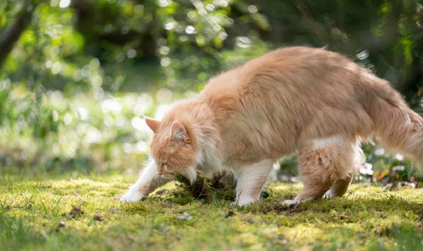 Cat digging in the dirt