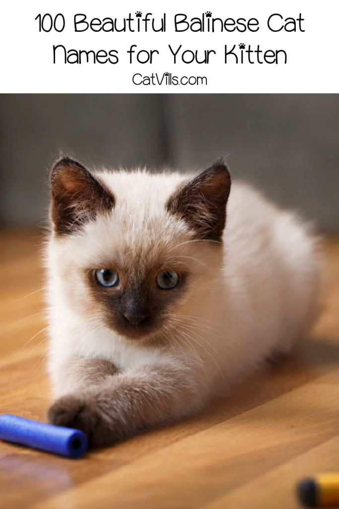 Looking for some beautiful Balinese cat names for your stunning new feline friend? Check out 100 ideas that we love for both boys and girls!