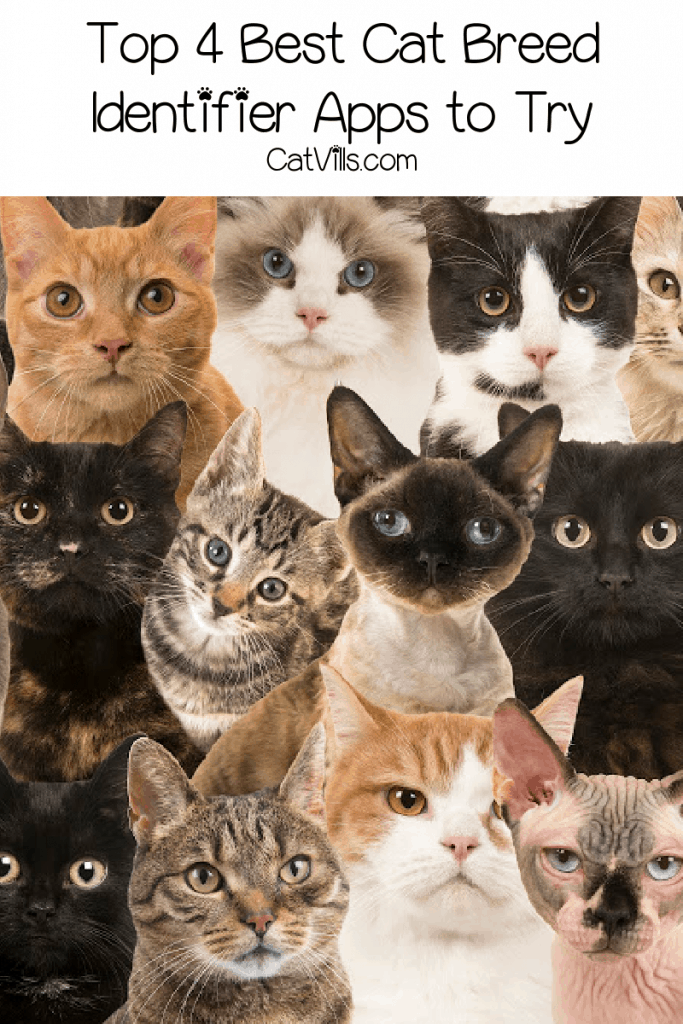 Looking for the best cat breed identifier apps to help you solve your kitty's greatest mystery? Check out our favorites with complete reviews!