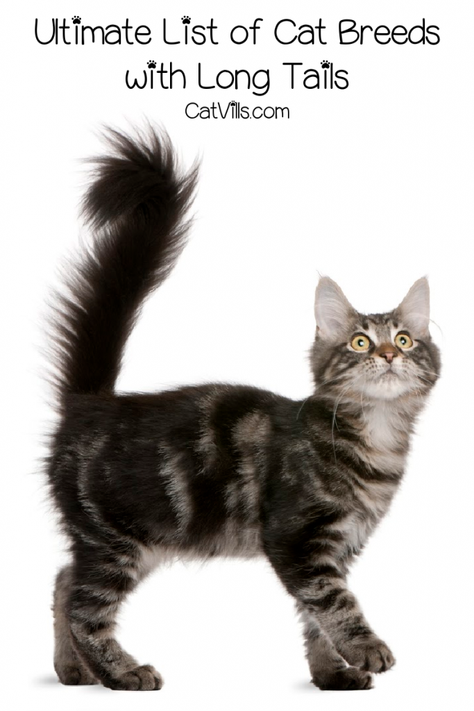Cat with a long fluffy tail