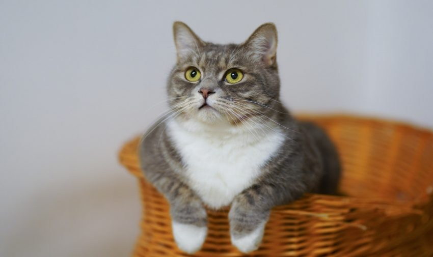 a gray catnipped cat on a basket curious about what he is seeing
