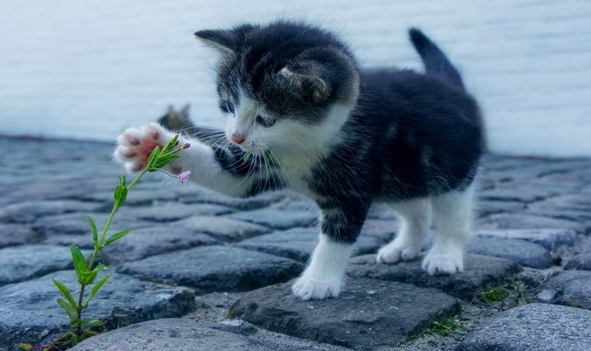 a black and white kitten touching a catnip