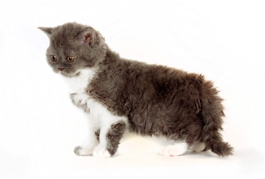 kitten Selkirk Rex on white background gray-white color, cute pet for the family