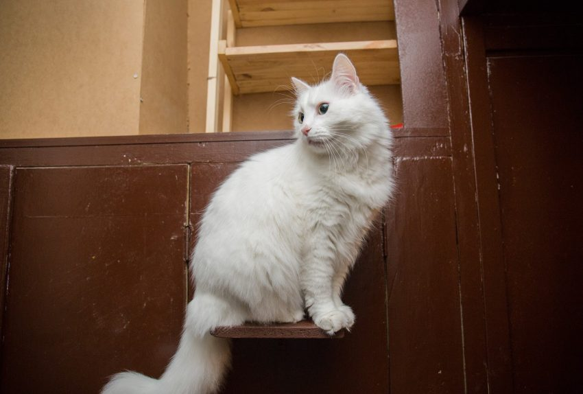 a white turkish van fluffy cat in the apartment