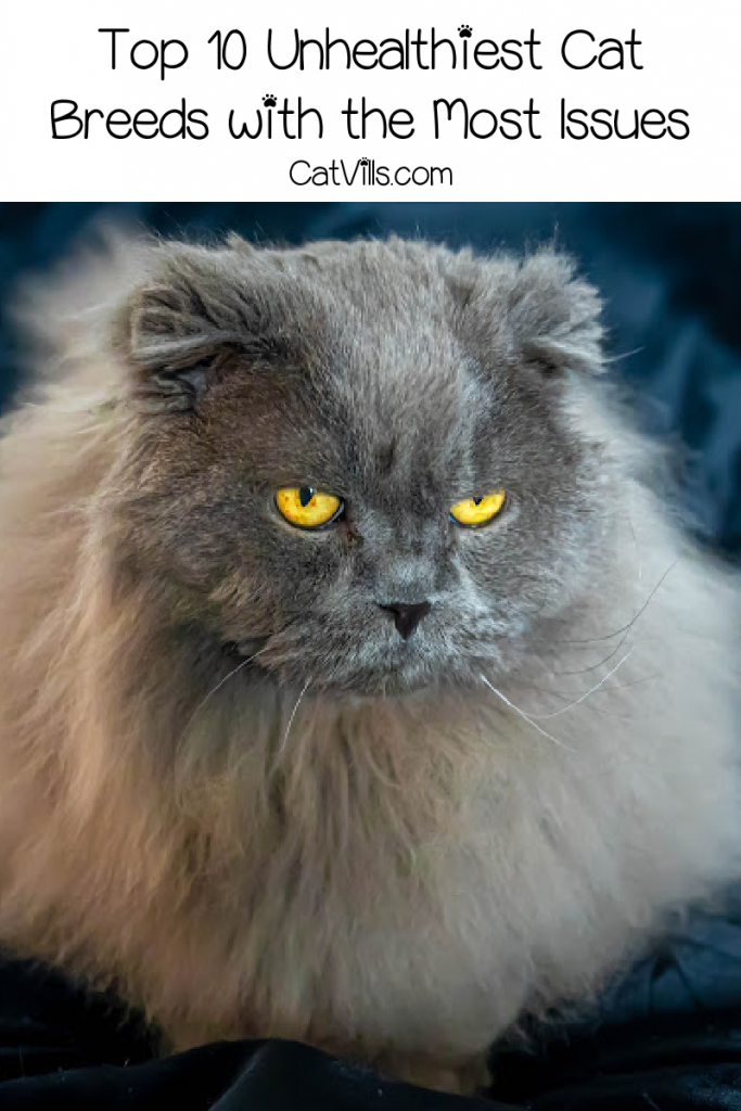 What are the unhealthiest cat breeds? Some breeds are prone to health problems. You don't have to avoid them, but you do need to be aware.