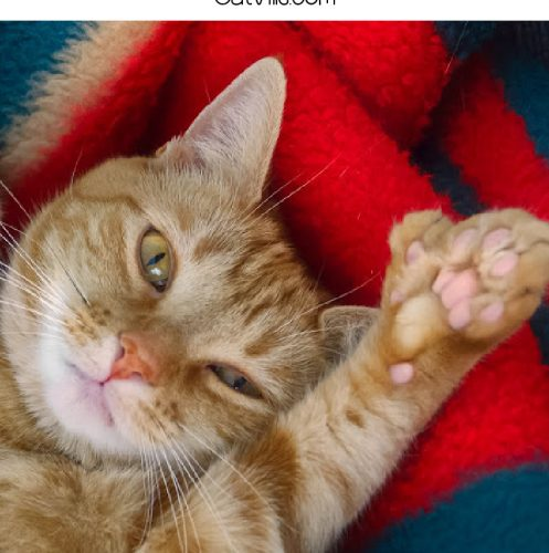 """polydactyl cat with text """"100 6-toed cat names"""""""