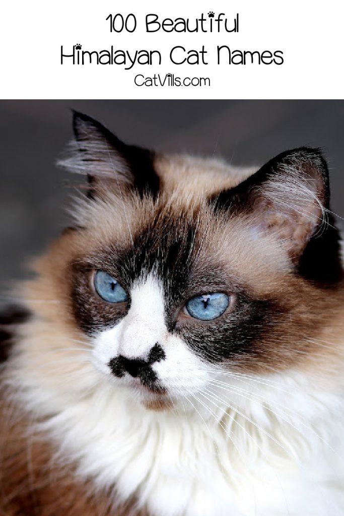 "A Himalayan can with text that reads ""100 beautiful Himalayan cat names"""