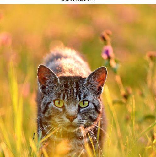 cat walking through tall grass