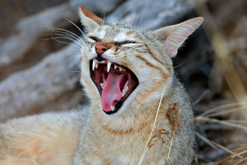 African cat yawning showing her sharp teeth