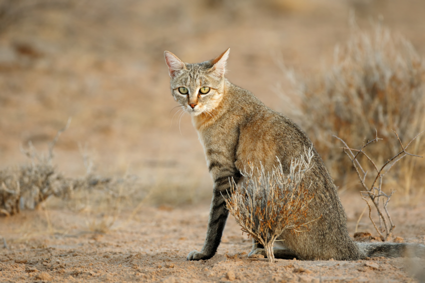 An African cat roaming around the dry desert