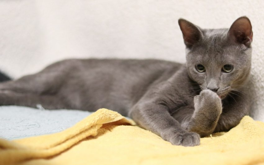 Russian blue cat with blue russian cat name smelling his hands while lying on the bed