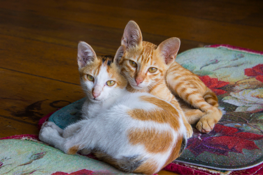 brother and sister tabby cats lying beside each other
