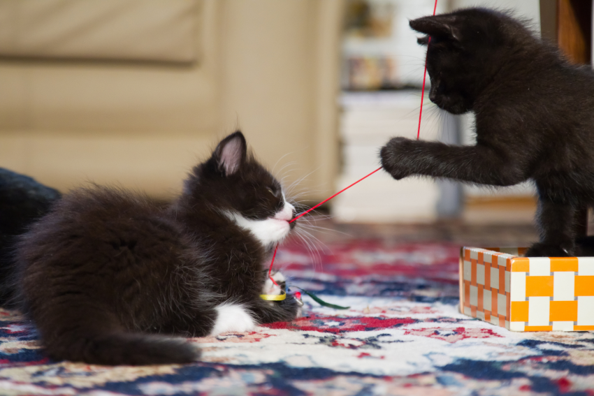 brother and sister cat playing a red yarn. These two black cats are perfect to have brother and sister cat names.