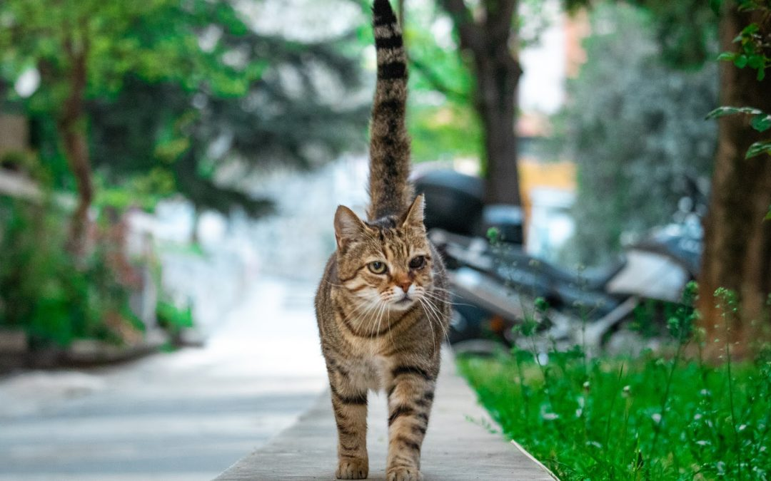 10 Cat breeds with Thick Tails