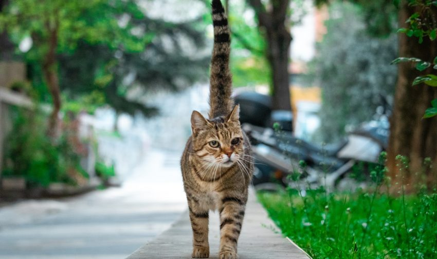 Brown cat with black stripes and one eye walking on a stone path towards the camera happily with it's tail up. Green scenery in the background