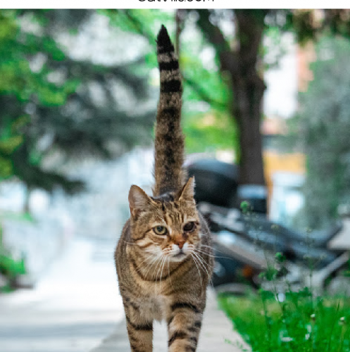 cat with thick tail walking down the street