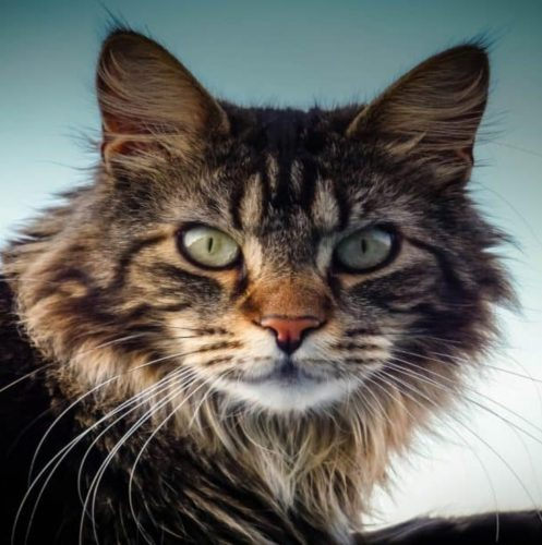 a brave maine coon cat