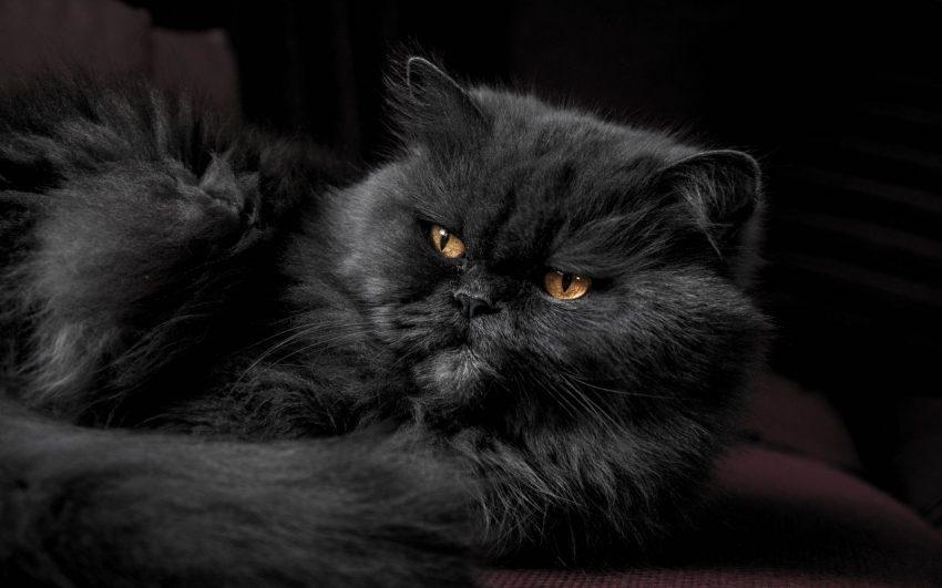 furry mystical black cat with fierce look