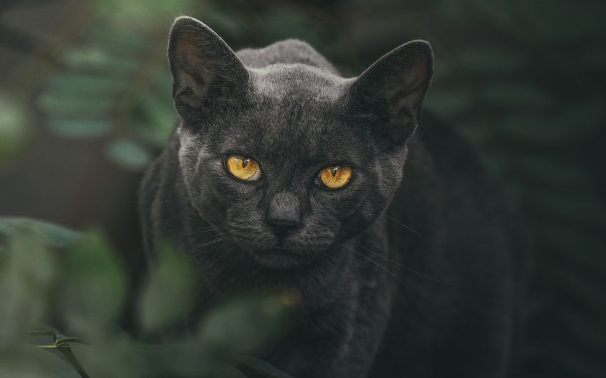 brown-eyed mystical black cat with leaves background