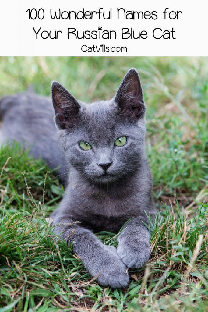 Russian blue cat sitting in a grassy field