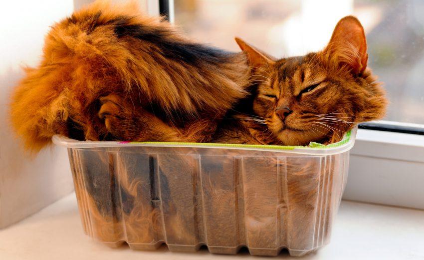 Somali cat lie inside transperent plastic box