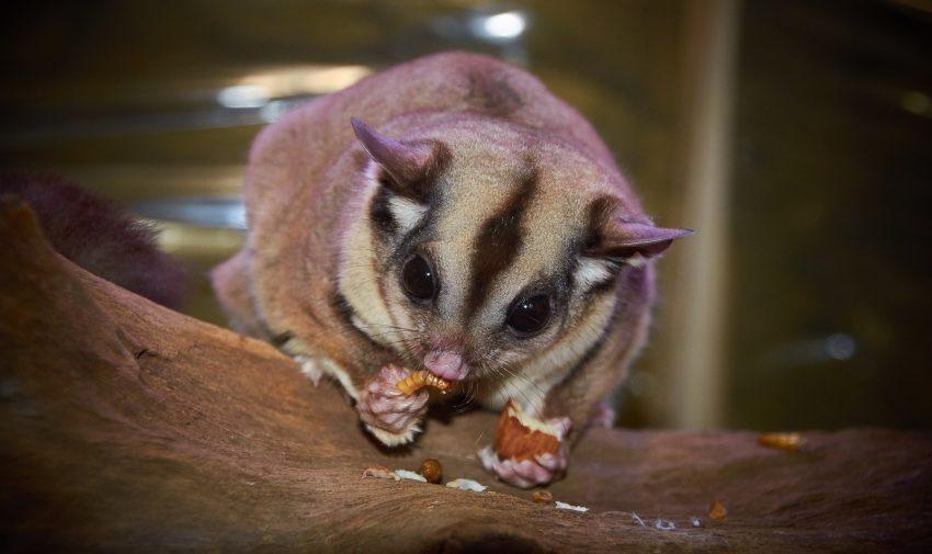 sugar glider eating acorn