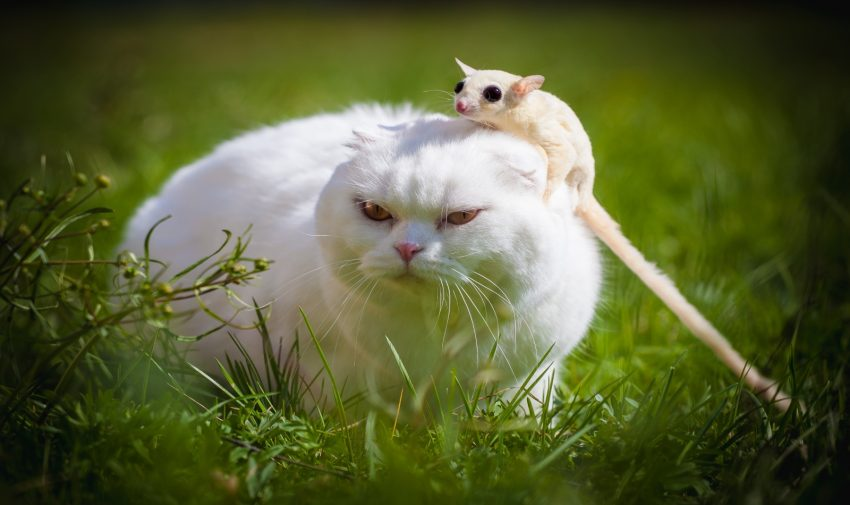 White sugar glider and cat on grass