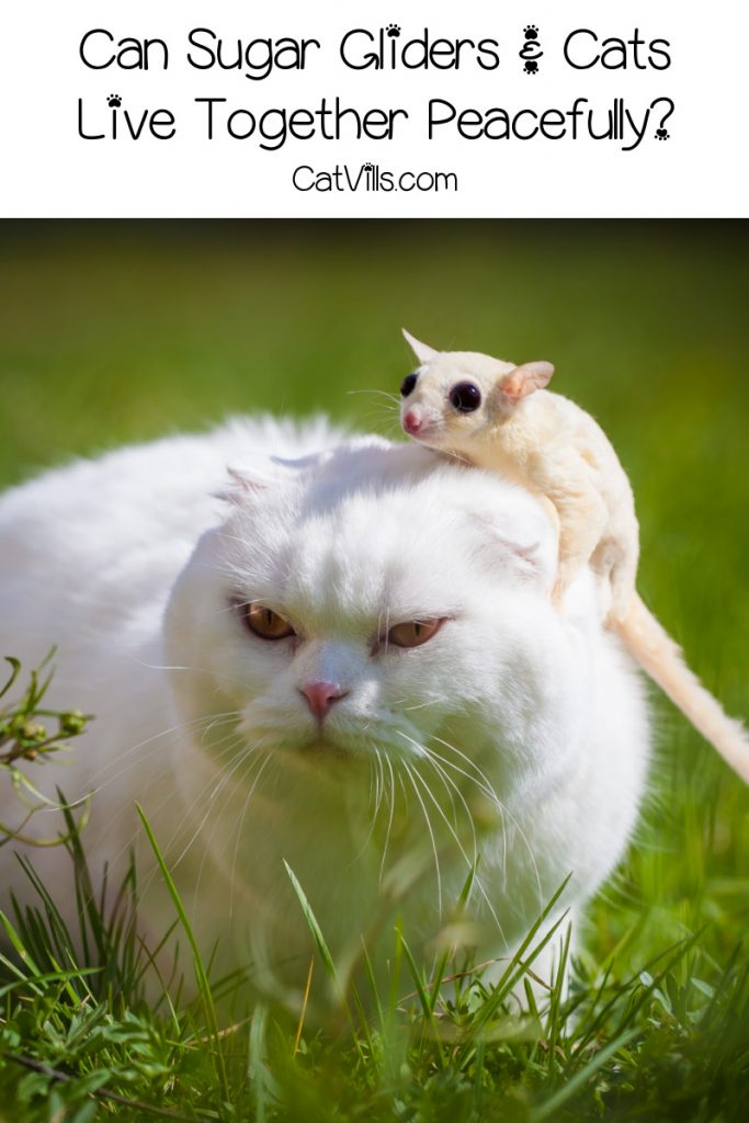 """a sugar glider stands on top of a white cat's head, with text, """"can sugar gliders and cats live together peacefully?"""""""