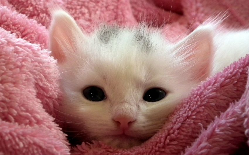 white kitten covered by a pink blanket