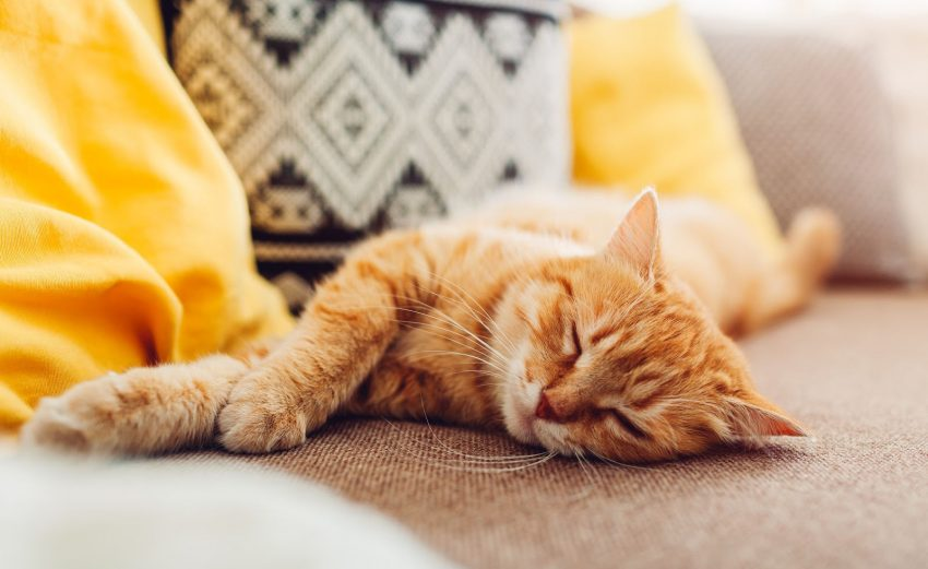 orange cat growling in her sleep