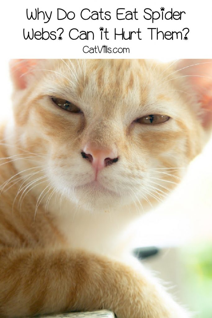 Cute ginger cat looking at camera and text that asks why does my cat eat spider webs?