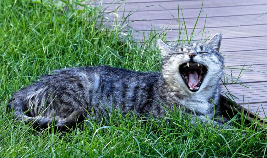 feline cat howling