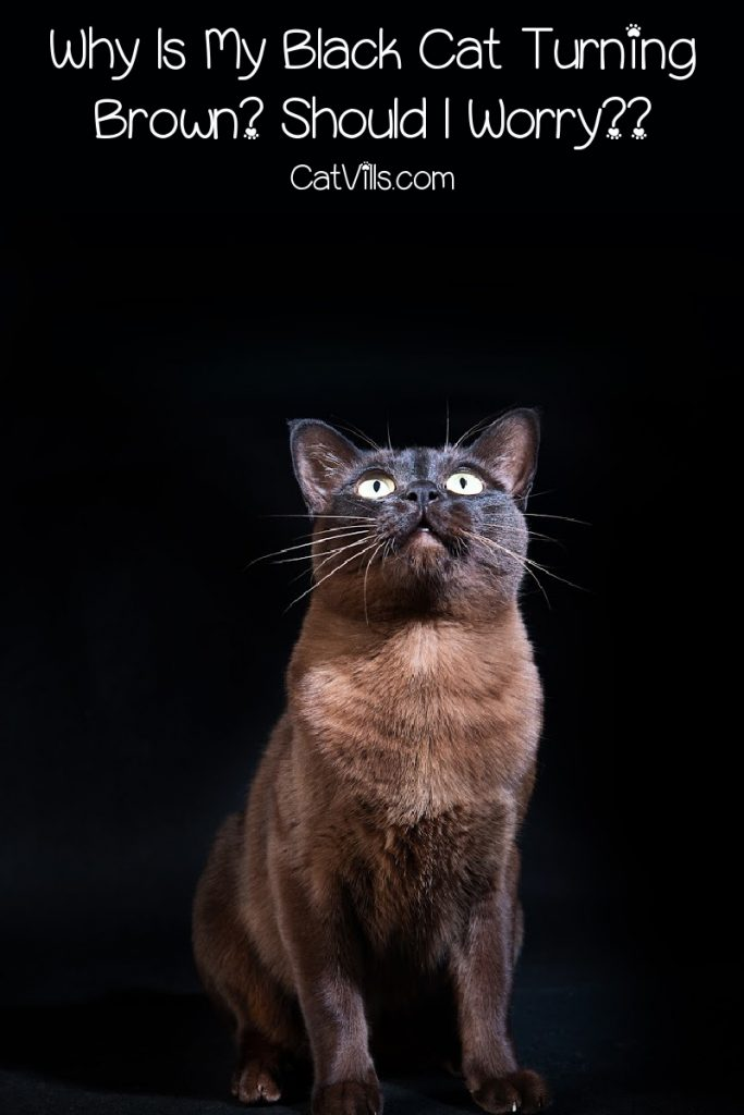 """Brownish/black cat with text, """"why does my black cat turn brown?"""""""