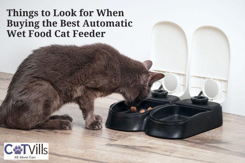gray cat eating dry food
