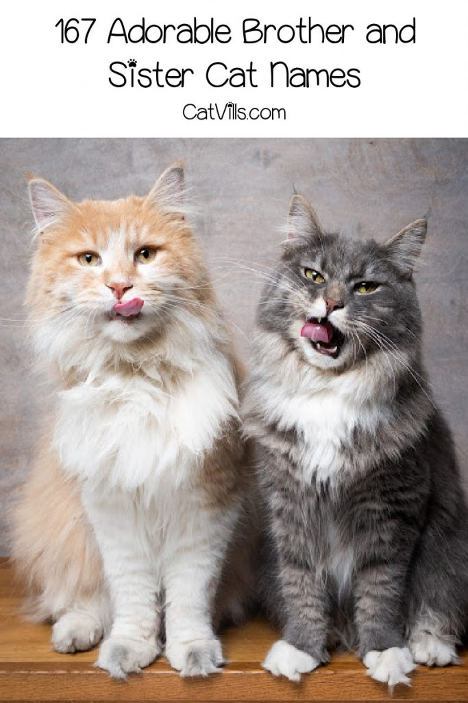 """two main coon cats with text """"167 brother and sister cat names"""""""